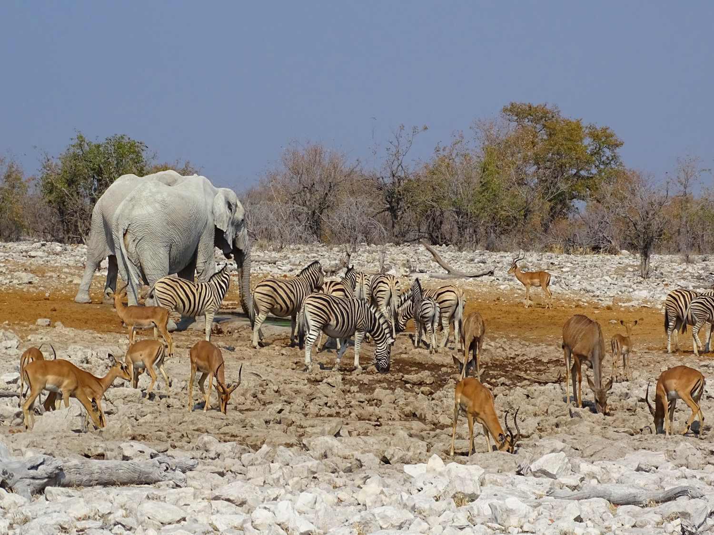 Elefanten, Imapalas und Zebras am Wasserloch in Etosha