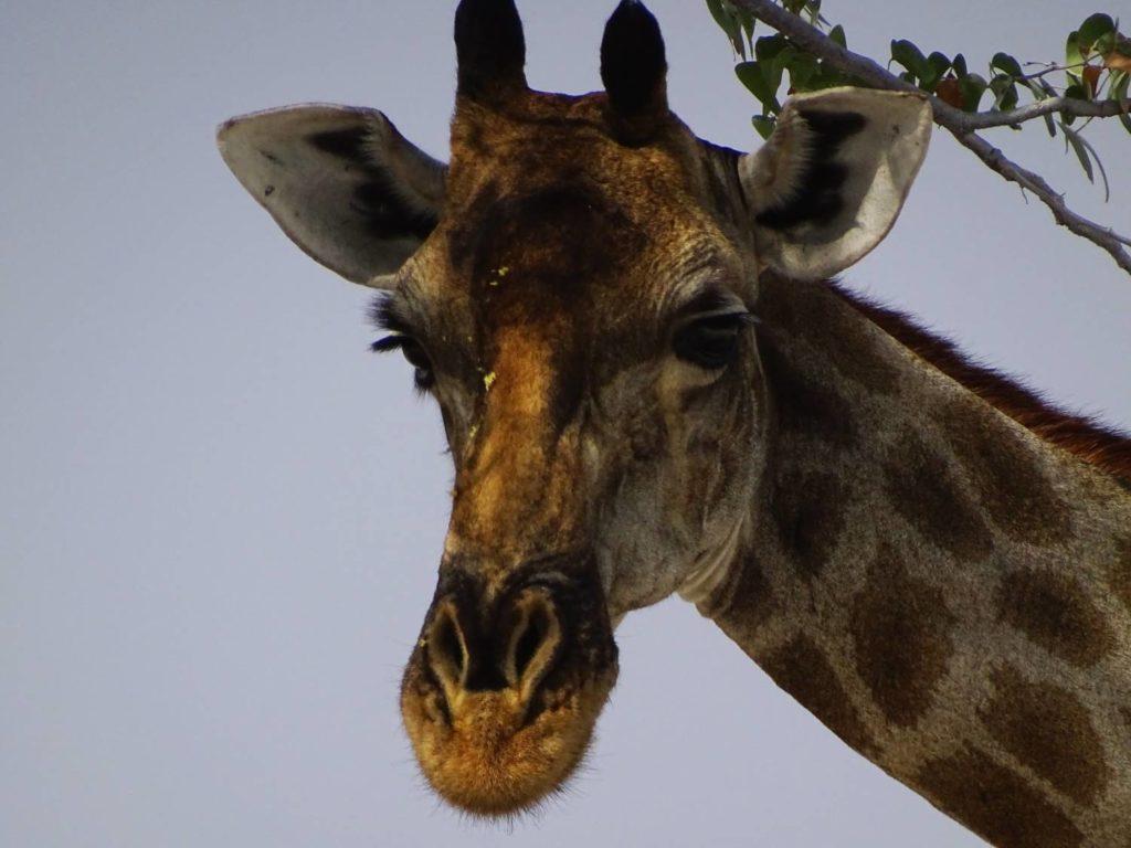 Die grossen Augen einer Giraffe aus der Nähe - Etosha Nationalpark, Namibia