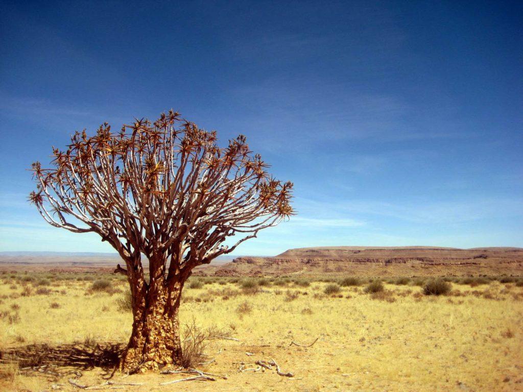 Köcherbaum in der Nähe des Fischfluss Canyons in Namibia