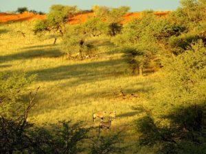 Kalahari Dünen mit Oryxen in Namibia
