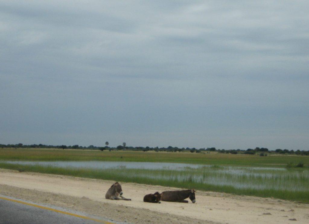 Oshana mit Eseln im Ovamboland