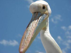 Eine Bootsfahrt die ist lustig - ein Pelikan aus nächster Nähe