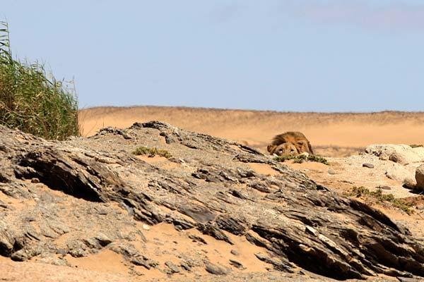 Wüstenlöwe in Deckung Copyright Dr Stander