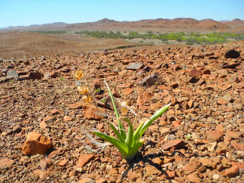 Lilie auf trockenem Basaltgestein im Damaraland, Namibia