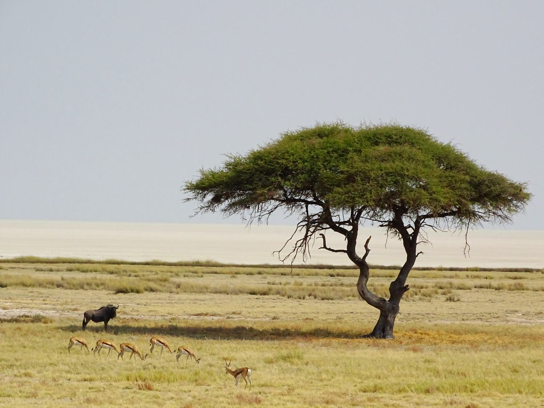 Akazie in Etosha mit Springböcken und Gnu