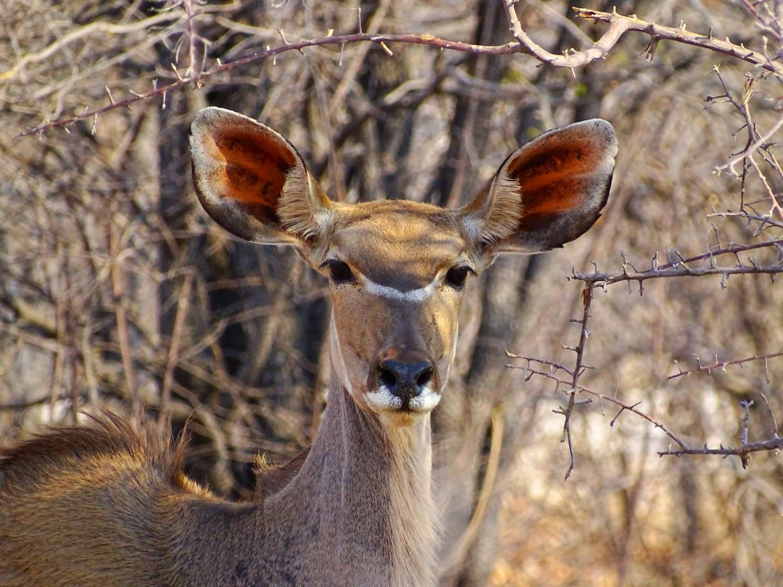 Kudukuh im Etosha Nationalpark