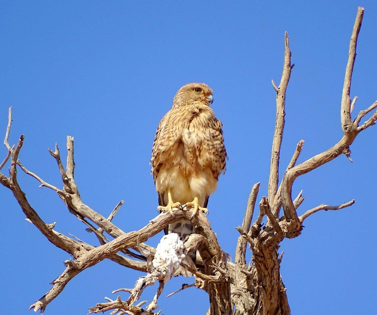Steppenfalke in der Namib