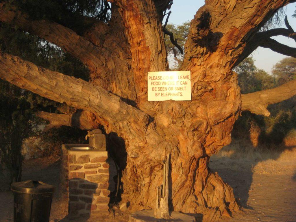 Ahnenbaum am Campingplatz in Puros, Kaokoveld, Namibia