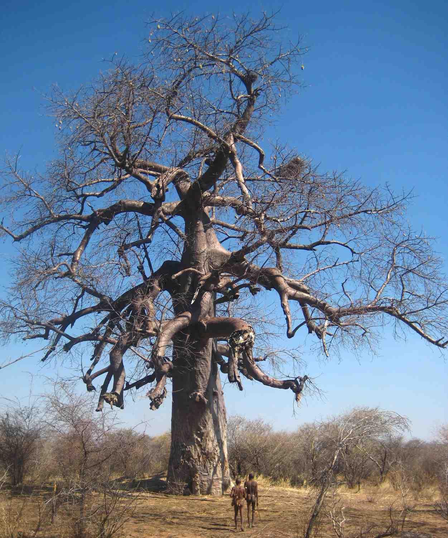Baobab im Buschmannland
