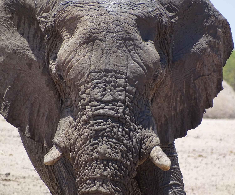 Elefantenbulle im Etosha Nationalpark