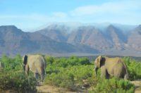 Zwei Elefantenbullen im Damaraland, Namibia