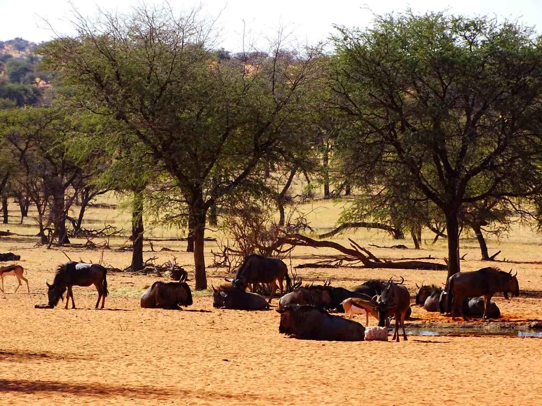 Gnus im Kalahari Sand unter Kameldornbäumen