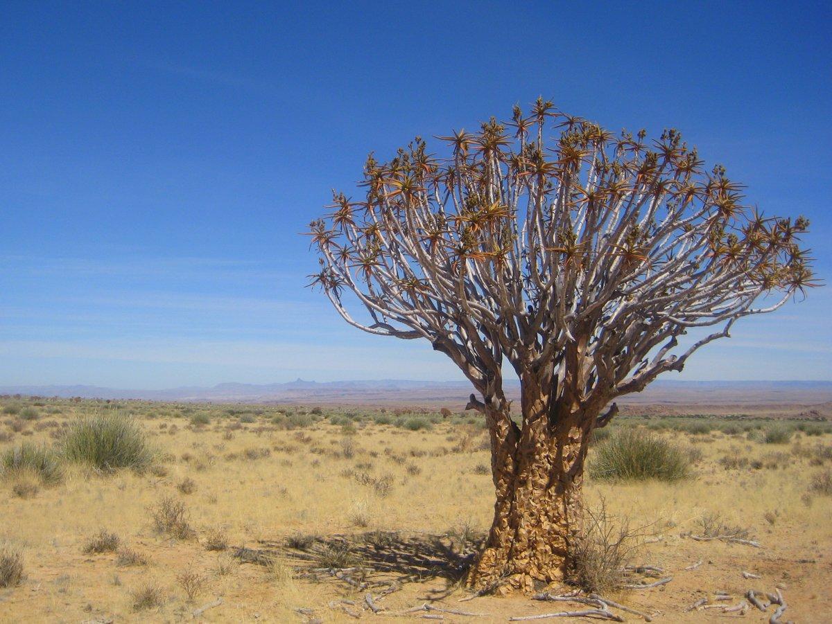Grosser Köcherbaum in der Umgebung des Fischfluss Canyons