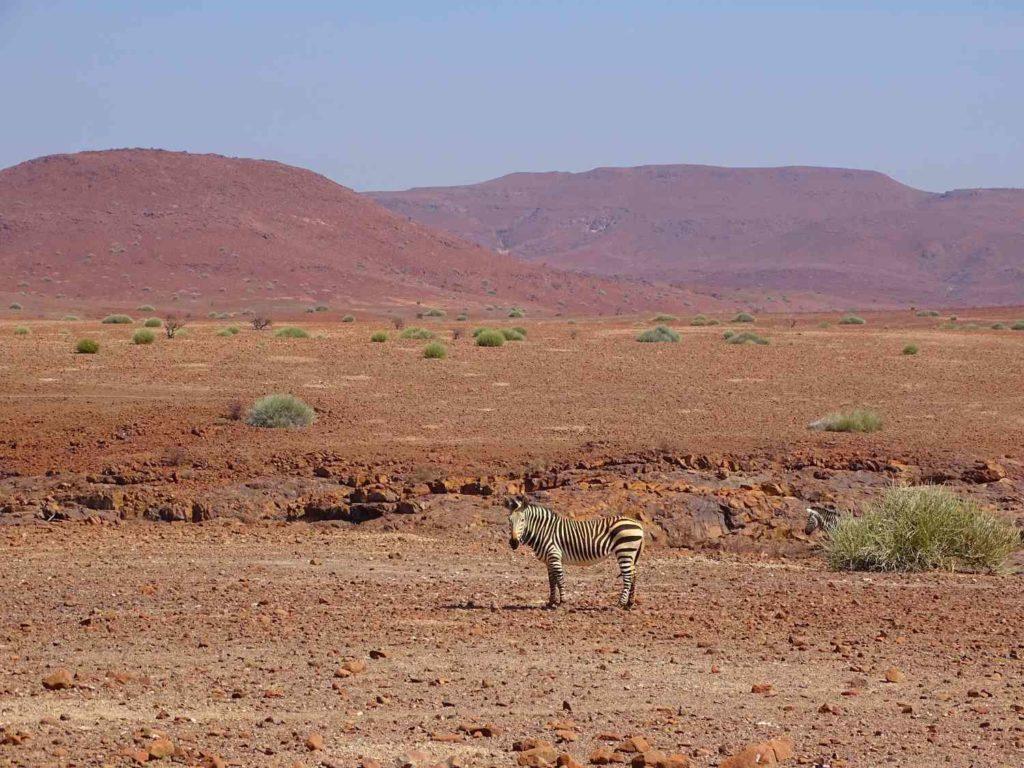 Hartmann's Bergzebra in der Palmwagkonzession in Namibia