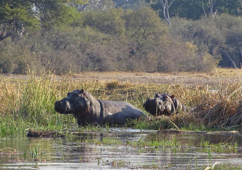 Nilpferde im Lynanti Fluss