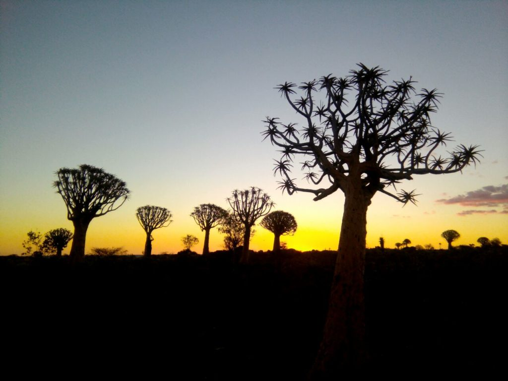 Köcherbaumwald bei Sonnenuntergang