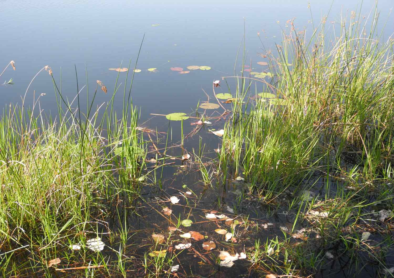 Seerosen im Wasser