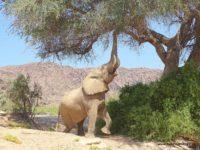 Ein Wüstenelefant frisst an einem Ahnenbaum