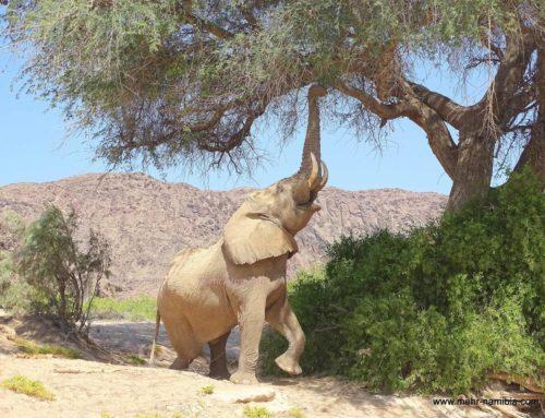 Namibia's Nordwesten – Suche nach den Wüsten-Vier