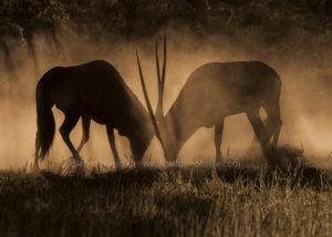 Gemsbok fight (c)Bernd Wasiolka-wildphotolife