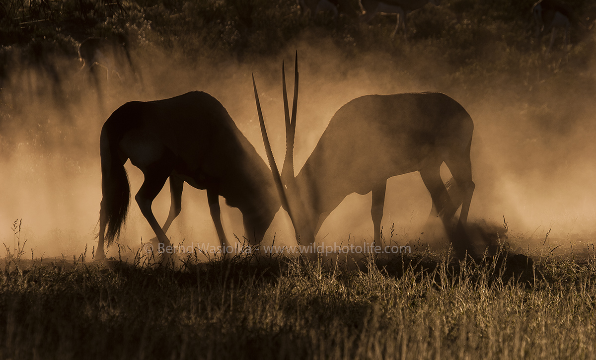 Gemsbok fight (c)Bernd Wasiolka-wildphotolife