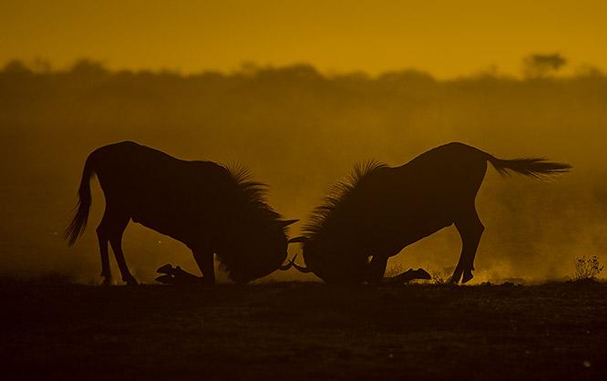 Kämpfende Gnus im Abendlicht in der Kalahari_C Dr. Bernd Wasiolka