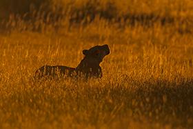 Löwin im Abendlicht - (c) Bernd Wasiolka