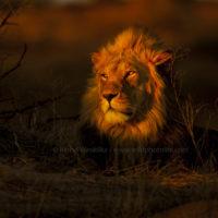 Löwe in der Kalahari c) B Wasiolka