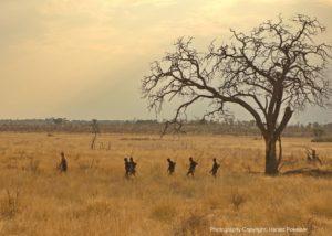 Buschmannjäger in der Savanne