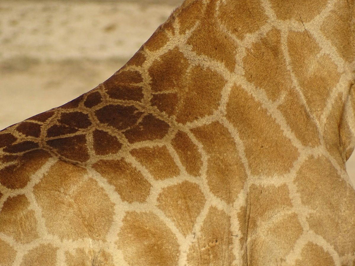 Muster im Fell einer Giraffe im Etosha Nationalpark
