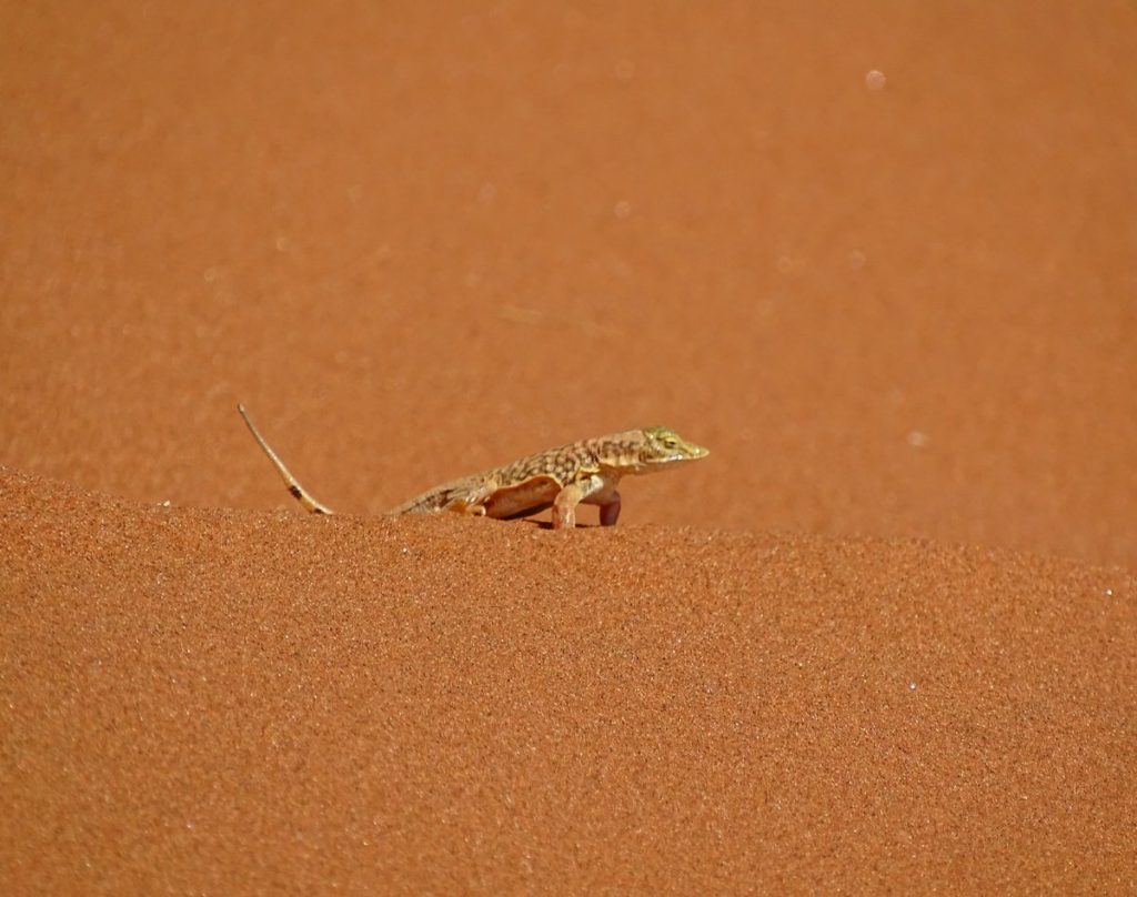 Sandtaucher Eidechse in der Namib