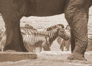 lefantenbeine als Rahmen für Zebras in Etosha