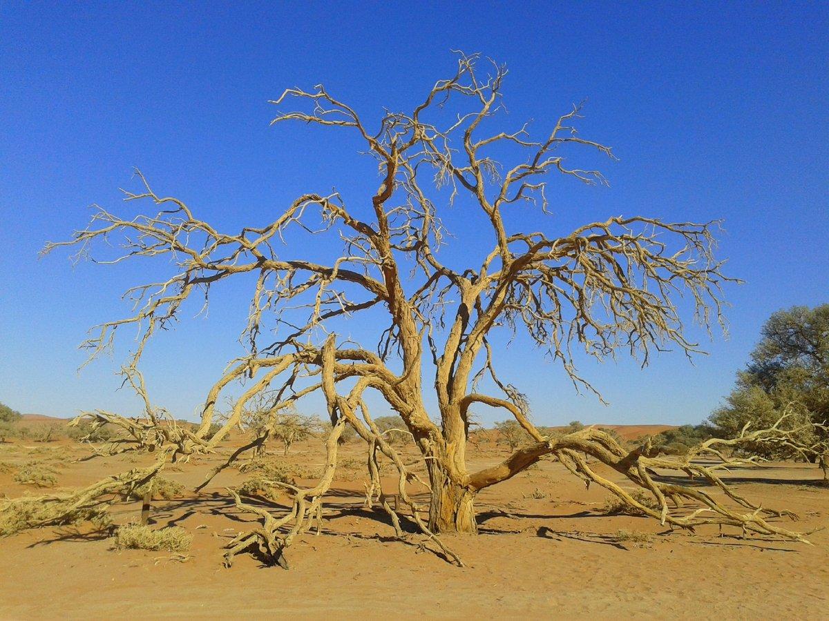 Alter Kameldornbaum beim Sossuslvei