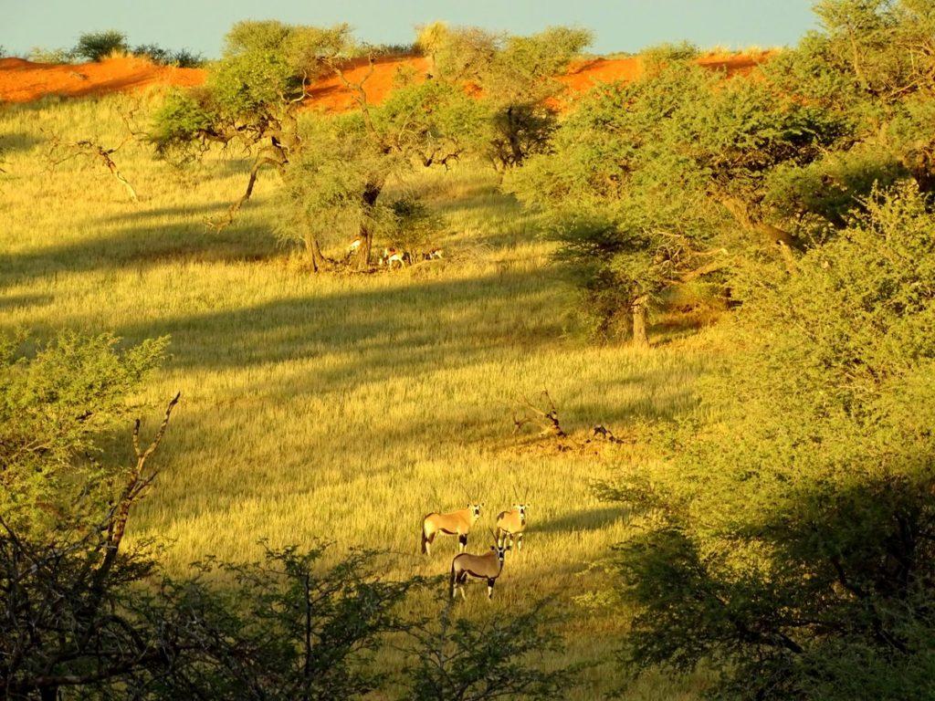 Oryxe weiden auf den Kalahari Dünen
