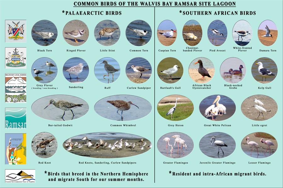 Häufige Vogelarten in Walvis Bay