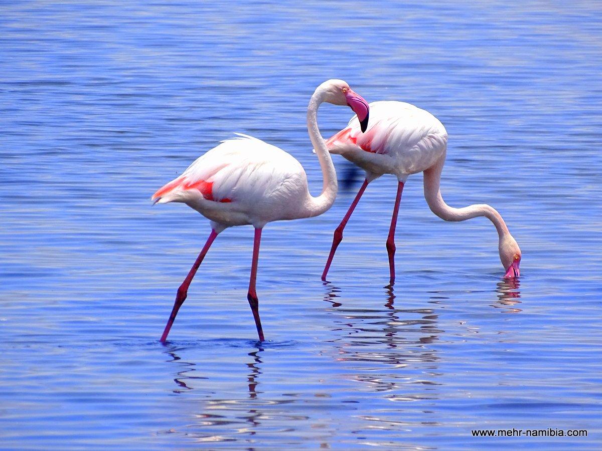 Rosa Flamingos in den seichten Salzbecken von Walvis Bay Namibia