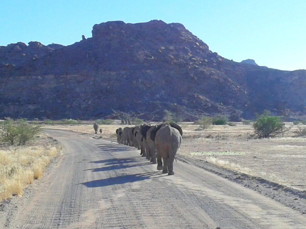 Schwerer Verkehr - Wüstenelefanten auf der Strasse