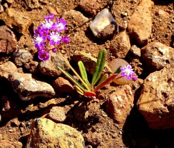 Nach dem Regen blühen Blumen in der Namib