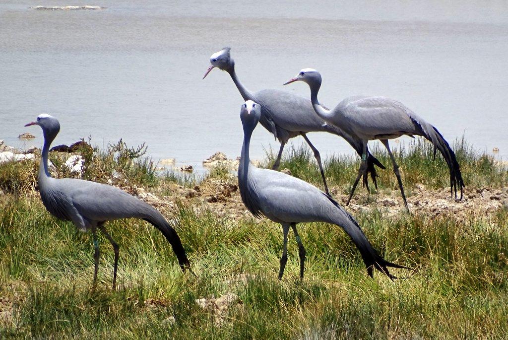 Paradieskraniche im Etosha Nationalpark