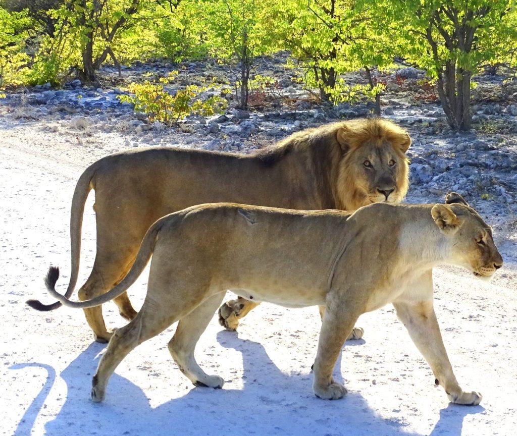 Löwenpärchen im Etosha Nationalpark in Namibia