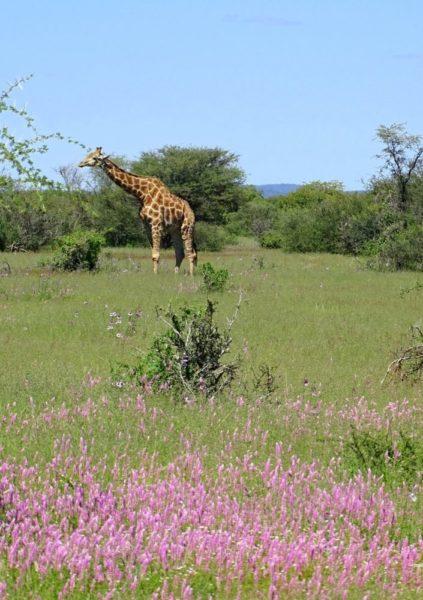 Giraffen auf grüner Blumenwiese im Etosha Nationalpark