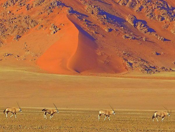 Oryxe vor Dünen am Sossusvlei in Namibia