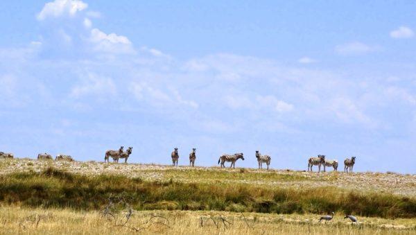 Zebras in der Grassavanne des Etosha Nationalparks