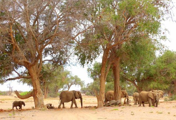 Wüstenelefanten im Huab Trockenfluss