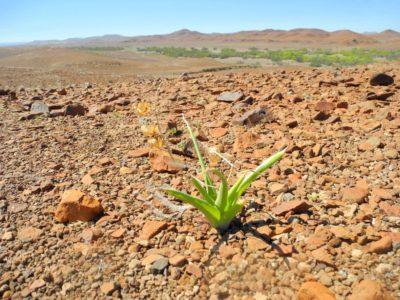 Basaltlandschaft der Palmwag Konzession