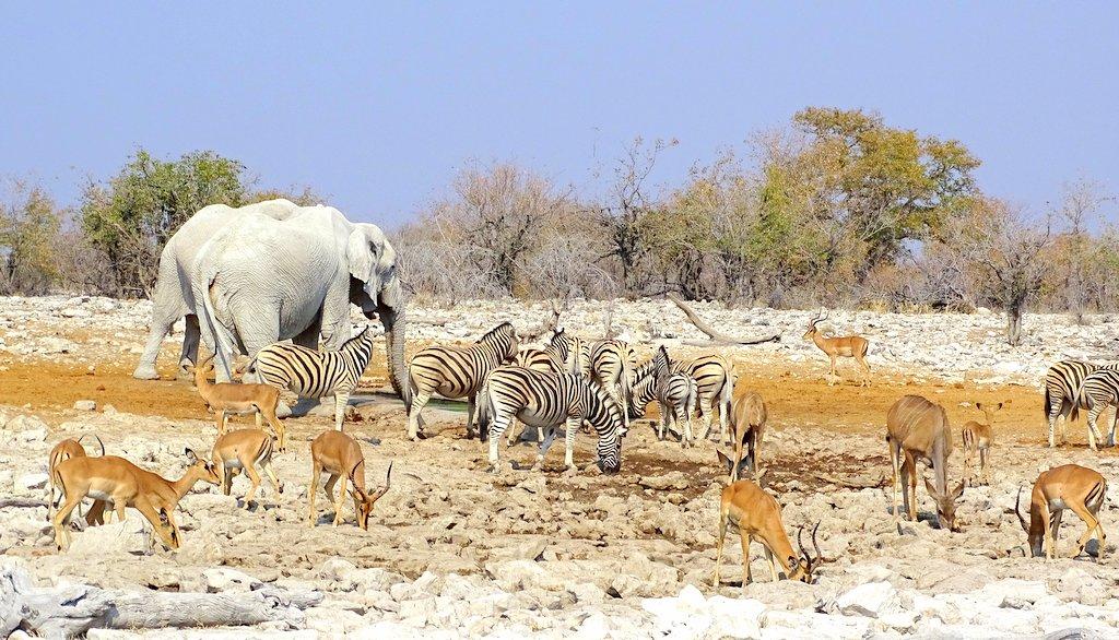 tosha Wasserloch_Elefanten Impalas Zebras