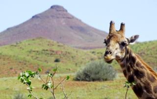 Giraffe in der Palmwagkonzession