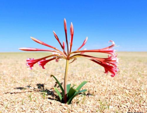 Das erleben Sie jetzt in Namibia: Die Namib Wüste blüht